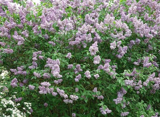 bouturer le lilas
