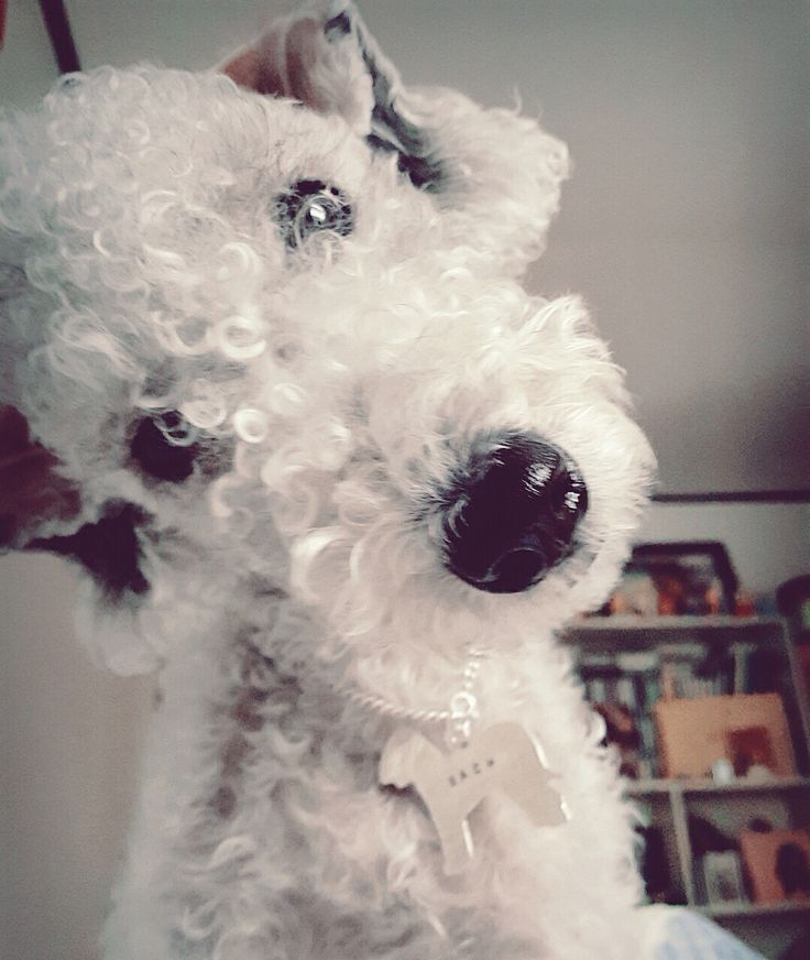 Bedlington Terrier...Say what??