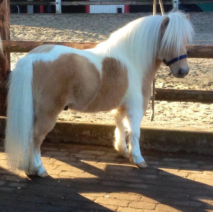 lovely little pinto Shetland pony, still a bit of winter fuzziness but such neat coloring.