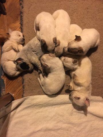 Australian Cattle Dog puppy for sale in TOWNSEND, DE. ADN-59229 on PuppyFinder.com Gender: Male. Age: 4 Weeks Old