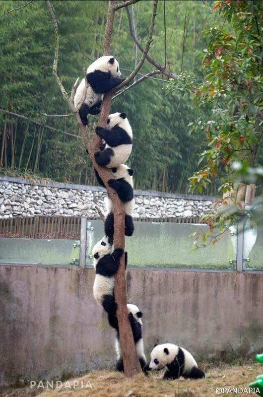 Pandas ... playing Follow the Leader?...  -photo by Pandapia, via El Arca de Noelio blog