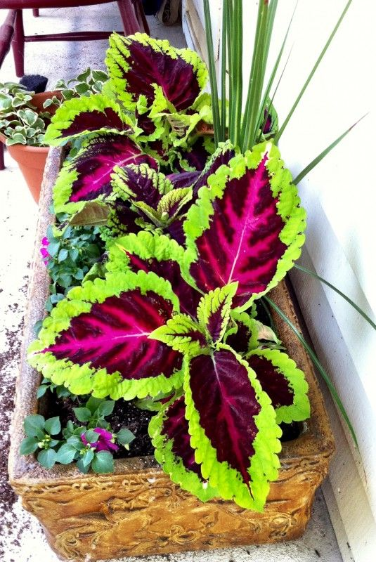 Kong Coleus... perfect for partial shade. I love coleus! Looks like impatiens, too.