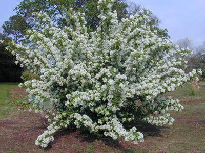 Chionanthus Retusus Chinese Fringetree Height 12 20