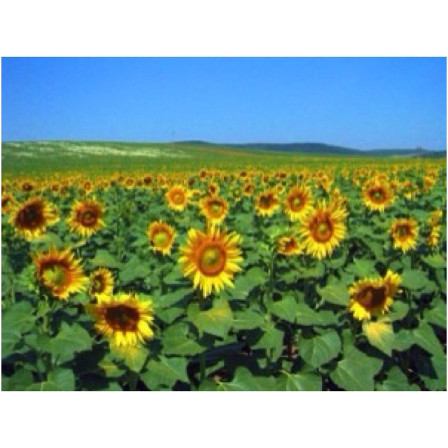 Sunflower field, Hungary