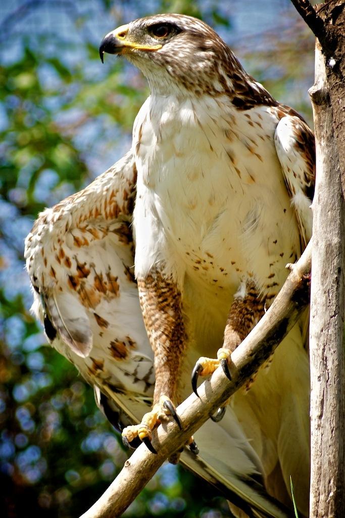A Ferringus Hawk.  Calgary-Alberta