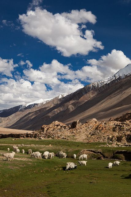 Pashmina goats in the idyllic landscapes of Changtang region, Ladakh, Jammu and Kashmir, India.