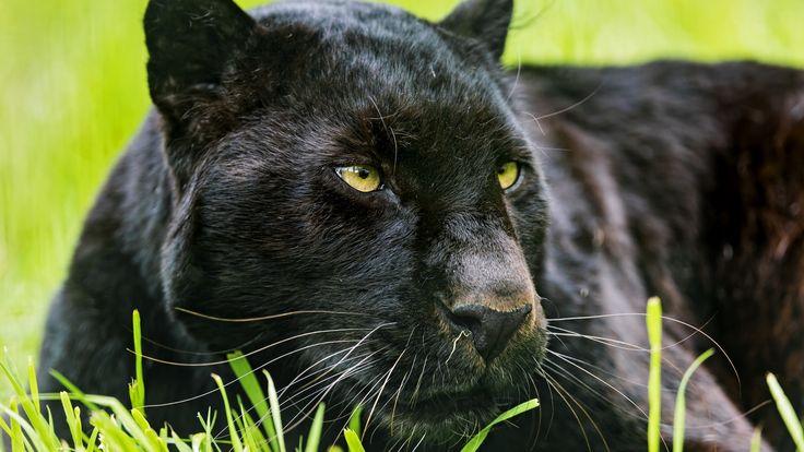 черный ягуар животное фото: 13 тыс изображений найдено в Яндекс.Картинках