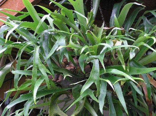 cfaa444087bd94d8f2294e8e0669a75a Polypodiaceae House Plant on peperomia house plant, fern house plant, monstera deliciosa house plant, spanish moss house plant, philodendron house plant,