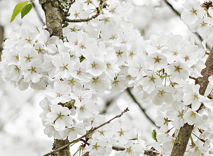 White Flowering Bushes