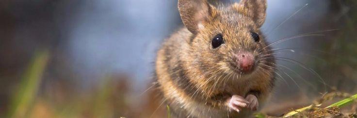 Muizen zijn niet de dieren die je in of rondom je huis wilt hebben. Je kan ze bestrijden met gif of je kan muizenvallen zetten. Maar als je het niet zo fijn vind om deze diertjes dood te maken,