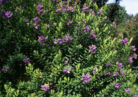 Image result for polygala myrtifolia pinterest