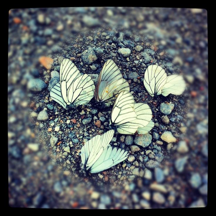 Бабочки летали сотнями, сбивались наверное половина из летающих