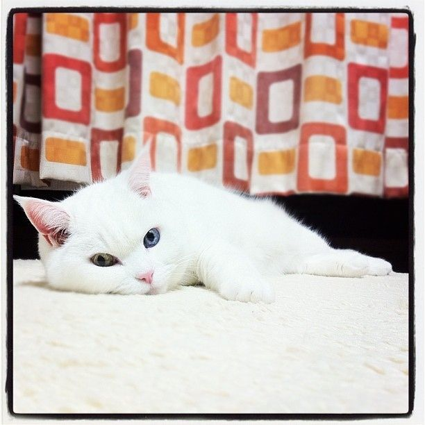 Best White Cats Like Mysti Images On Pinterest Blue Eyes - This is pam pam the kitten with heterochromia with hypnotic eyes you just cant stop looking at