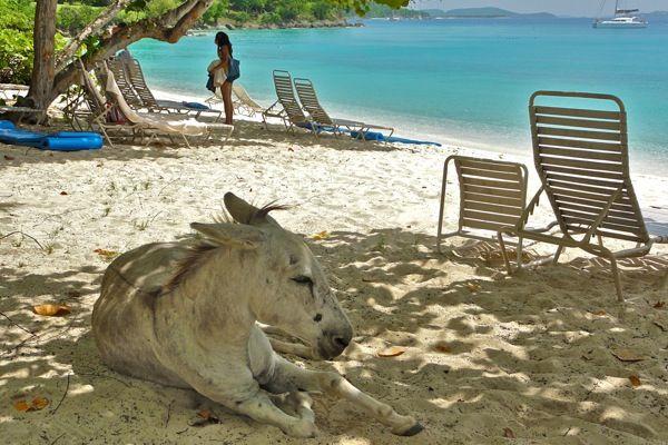 A wild donkey on the beach in St. John, USVI #caribbean