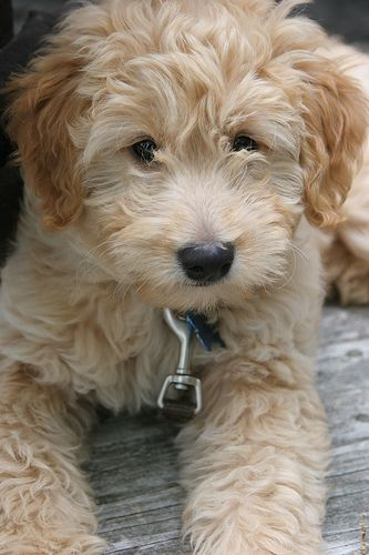 curly blonde golden doodle. just like mama!