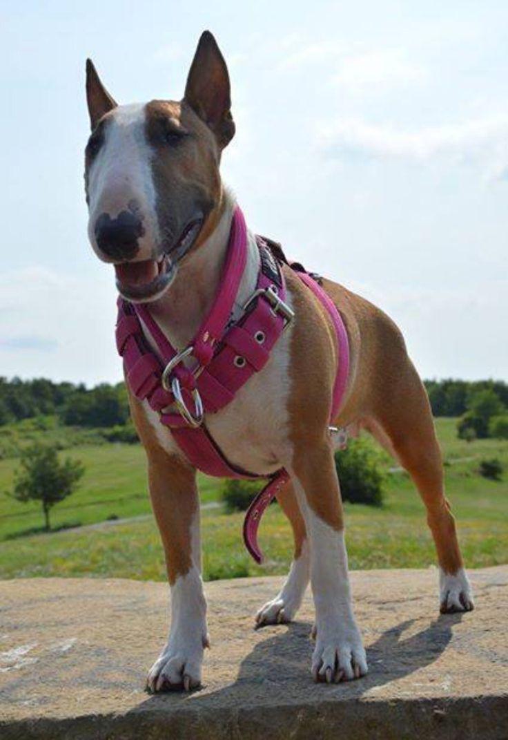 157 best bull terrier fur babies images on pinterest english