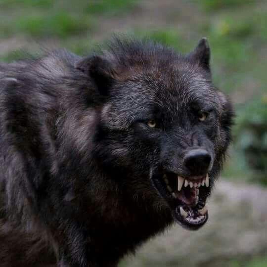 меню фото со смыслом орлов и волков праздничный