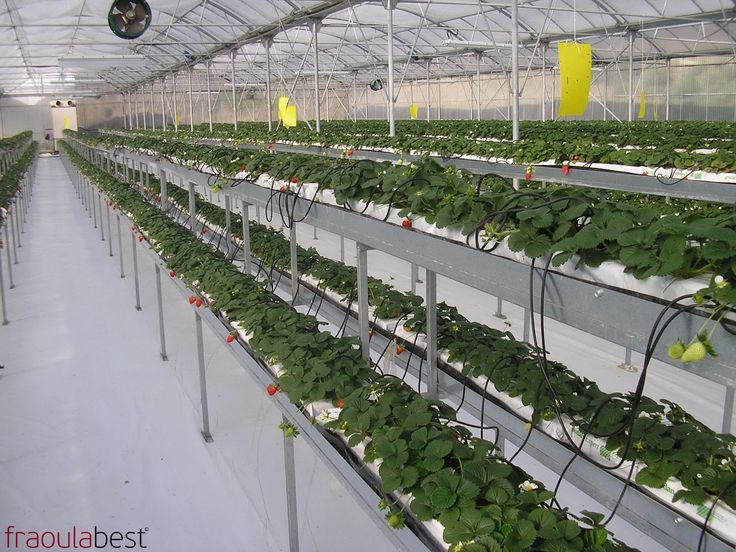 FraoulaBest Sytem in Greece (Rhodos) | FraoulaBest© System (Hydroponic Strawberry)