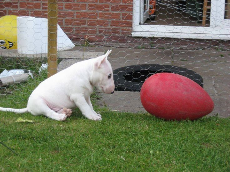 #Bull #Terrier #Puppy and Egg