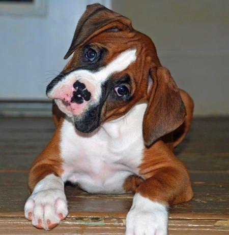 Cachorros boxer                                                                                                                                                                                 Más