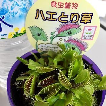 食虫植物の画像 by 花歩太郎さん | お出かけ先と今日の一枚と食虫植物