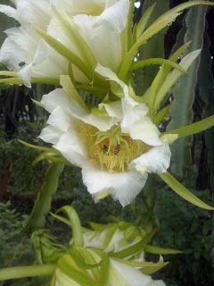 bunga buah naga