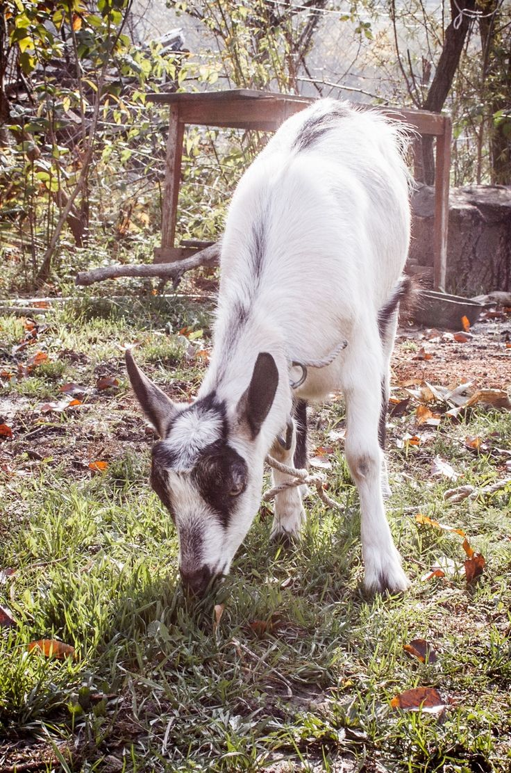 Léni, our goat