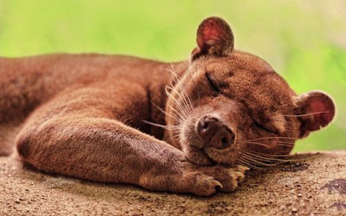 A sleepy fossa is adorable.   The Fossa Is Your New FavoriteAnimal