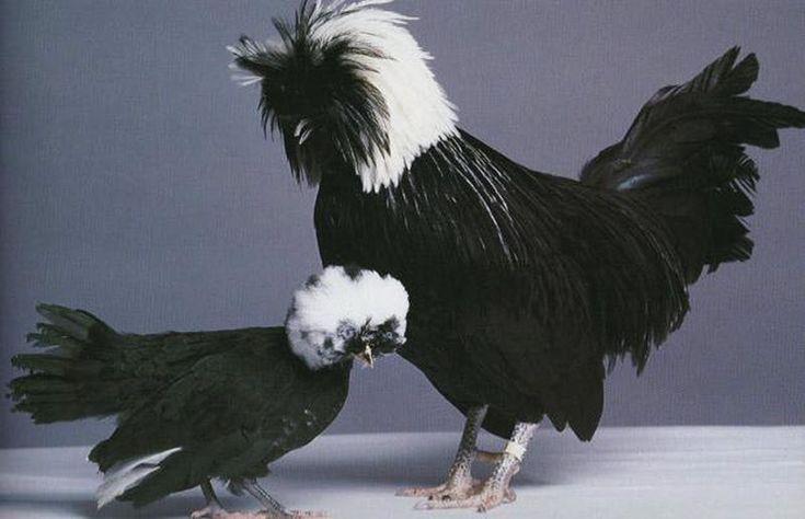 Необычные и редкие породы кур