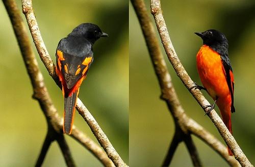 Scarlet Minivet, Sinharaja Rainforest, Sri Lanka