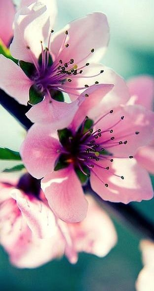 cherry blossoms....These were in bloom when KY school trip went to Washington I've liked them since :)     .<3**