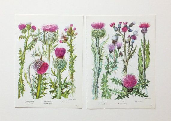 Two fabulous thistle pictures from a vintage wild flowers book featuring beautiful botanical drawings. The thistles are identified at the bottom of each page. These illustrations are perfect for matting and framing and would also be great for decoupage, crafting, scrap-booking, altered art and card-making projects.  Each page measures approx. 17 cm x 23.5 cm ( 6.75 in x 9.25 in). The edges have been left just as they were when removed from the book. There is printing on the back of each…