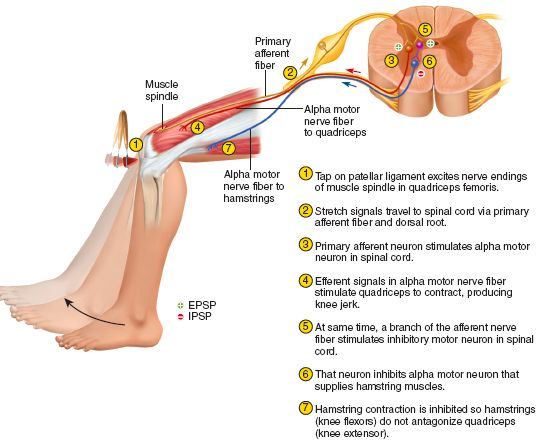 9 best reflex arc images on pinterest physiology anatomy and this is called the stretch reflect helping to maintain equilibrium and posture an example of this is indicated in the patellar reflex of ccuart Choice Image