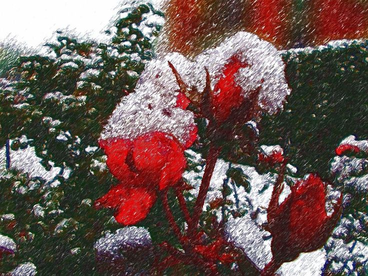 Snow on roses by Giancarlo Gallo