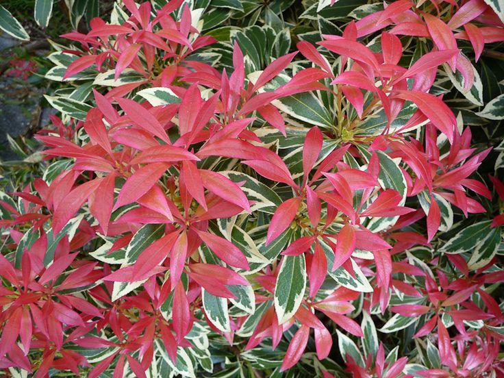 Les 7 meilleures images du tableau terre de bruyere sur pinterest id es de jardin jardins - Plante de terre de bruyere ...