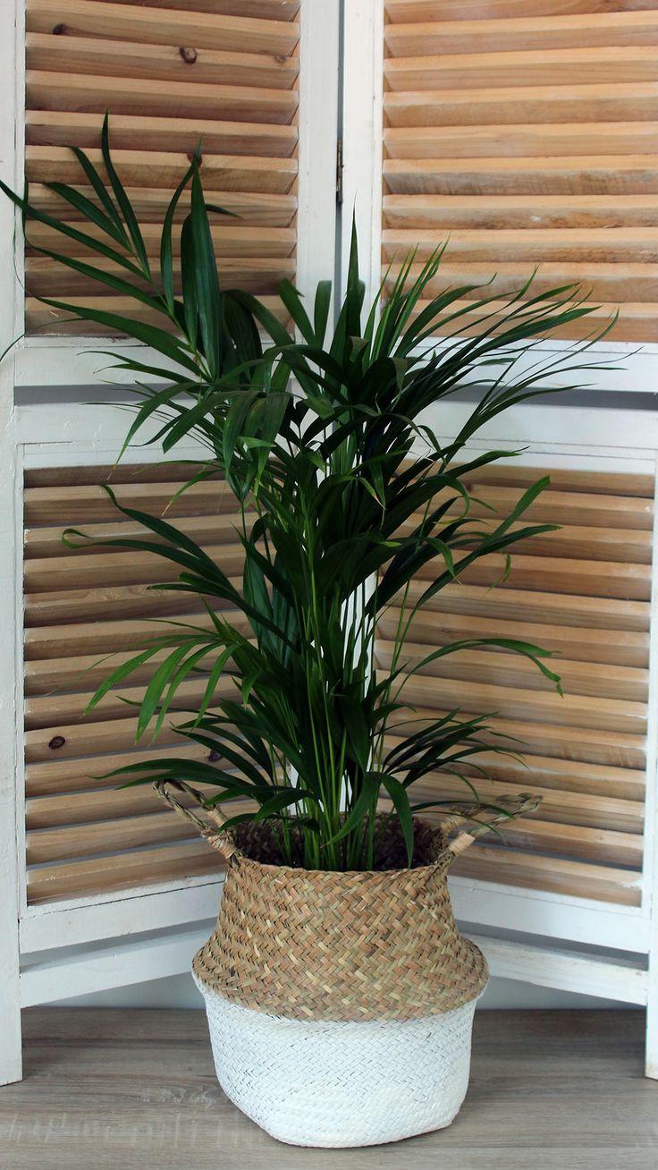 Floraison.gr | Φυτό αρέκα σε καλάθι. Areca plant for inhouse. Green plant in basket.