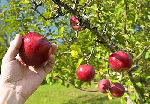 Neudržovaný strom se časem vyčerpá a méně plodí. Proto je třeba ovocným stromům dopřát pravidelný průklest, která také prodlouží život stromu, případně obnovit plodnost zmlazením.
