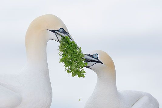 """First Place, Birds, Professional - Arthur Morris. While on a trip to Canada's Bonaventure Island, home to the world's largest gannetry, Morris found himself surrounded each day by thousands of nesting northern gannets. Each year a pair builds a nest atop one of the viewing shelters. """"Nearly all of the Bonaventure gannets build their nests on the ground or on the cliffs,"""" says Morris, """"so it was a rare experience to photograph these birds at their shelter-top nest with a white sky…"""