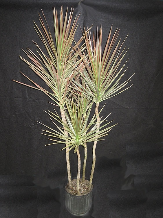 39 best images about the madagascar dragon tree dracaena for Dracaena marginata