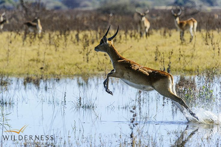 Little Mombo – The  Mombo area harbours prolific concentrations of general game such as giraffe, zebra, warthog, red lechwe, tsessebe, wildebeest, kudu, elephant, buffalo and impala. #Africa #Safari #Botswana