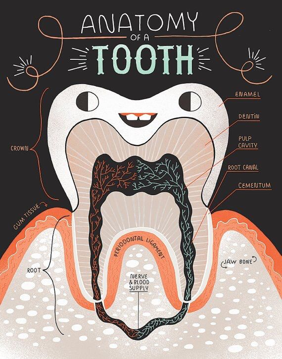 Anatomy of a tooth.