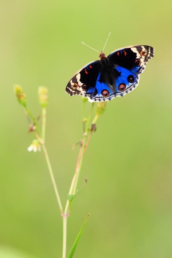 Blue Pansy Male: Photo