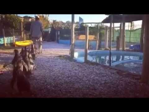 Pingüinos en el S.O.S Rescate de Fauna Marina ¡Se están recuperando!! Después de un rico almuerzo llego la hora del baño. Increíble es ver las condiciones en que llegaron los pinguinitos y lo bien que se encuentran ahora!! Animales que estaban librados a su suerte y que gracias a un fuerte trabajo diario de SOS Rescate de Fauna Marina en Punta Colorada, donde con mucho cariño y dedicación se los alimento y protegió, varios ya están casi recuperados y prontos para ser liberados nuevamente a…