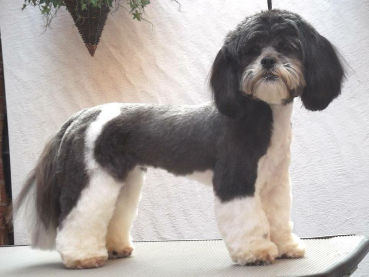 Picture of shaved lhasa apso-9971