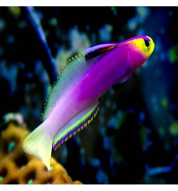 Firefish Lilac Nematelotris Helfrichi Salt Water Fish Saltwater Aquarium Fish Saltwater Fish Tanks