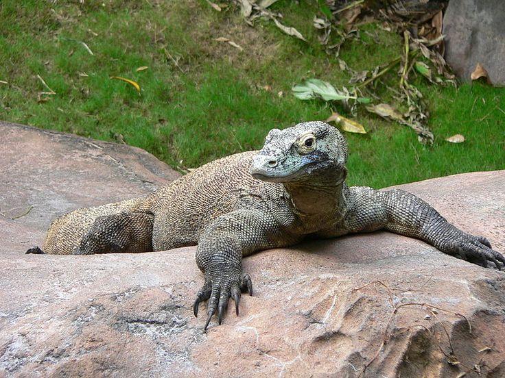 Varanus komodoensis4 - Varan komodský – Wikipedie