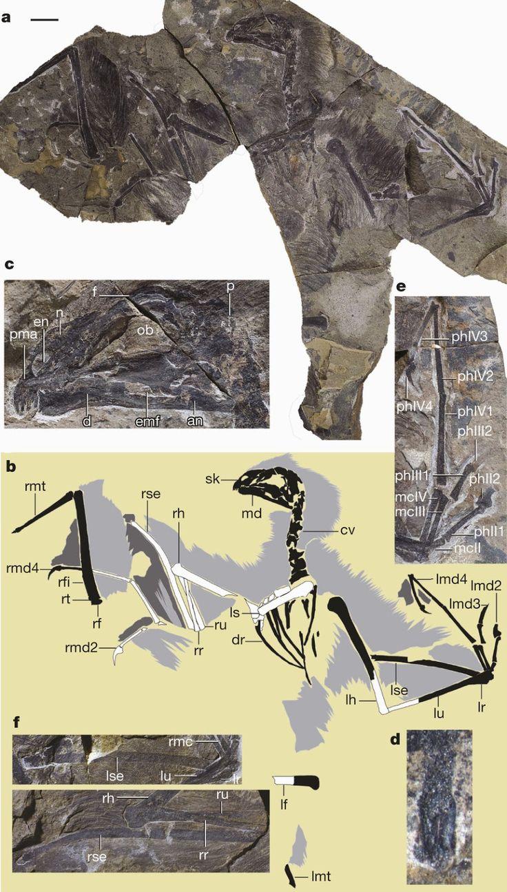Du côté de chez Elysia chlorotica: Yi qi: Un dinosaure aux ailes de chauve-souris?
