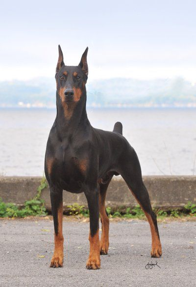 This majestic Doberman Pinscher saved his owners life. - Imgur