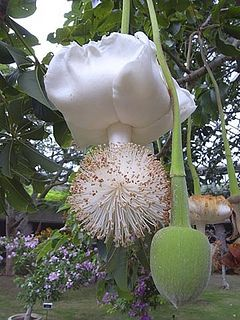 Beautiful Baobab flower ~ rarely seen. Baobab Flower - Baobab also known as 'The Tree of Life' is an extraordinary African tree. It can live as long as 5000 years and the trunk can reach up to 82 feet in circumference. Baobab is often called the 'upside down tree' as its branches look like roots.