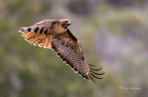 Majestic Red-tail Hawk calls out mid-flight